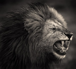 Snarling King (African Lion, Masai Mara, Kenya)